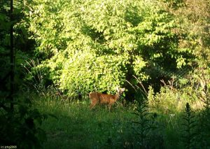 Das Reh im Garten noch mal am 27.06.2008