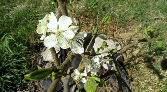 Pflaumen- und Erdbeerblüten