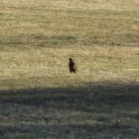 Greifvogel Bild 3