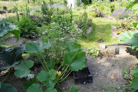Zucchini und Kerbel am 07.07.2017