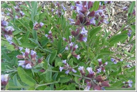 Salbeiblüten und unbekanntes Insekt