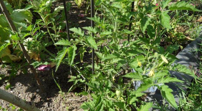 Rote Murmeln, andere Tomatenpflanzen und eine Chilipflanze