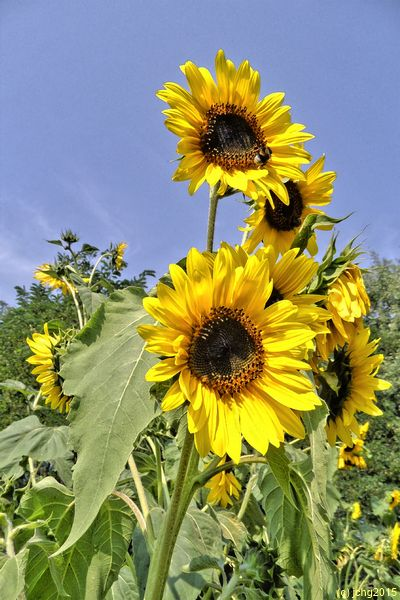 Riesensonnenblumen 13.08.15