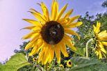 Sonnenblume mit Hummeln 13.08.15