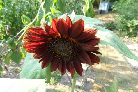 Rote Sonnenblume 13.08.15