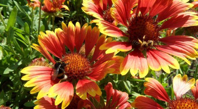 Kokardenblumenblüten mit Hummeln und ?Insekt am 22.08.15