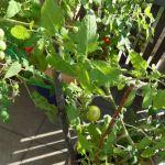 Tomaten 5