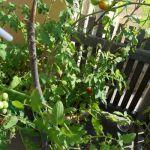 Tomaten 4