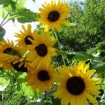 6 Sonnenblumenblüten im August 2016