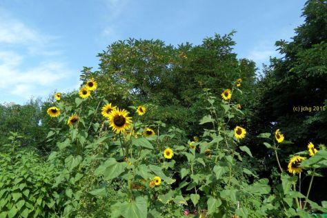 Und andere Sonnenblumenblüten im August 2016