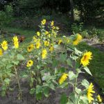Viele Sonnenblumen im August 2016