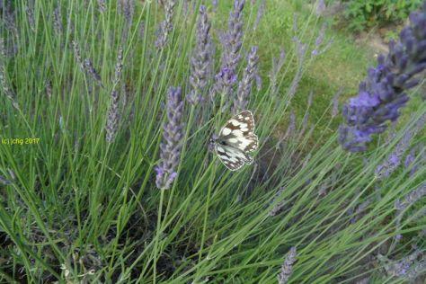 """Schachbrettfalter am Lavendel im Beet """"Acht"""" Bild 1am 08.07.2017"""