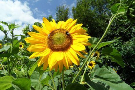 """Sonnenblumrenblüten mit Insekten 1 Beet """"Mangold"""" am 20.08.2017"""