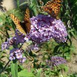 """Nochmal die beiden Schmetterlinge """"Kaisermantel"""""""