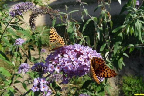 Schmetterlinge und Sommerflieder