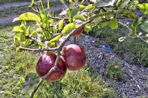 Äpfel an userem kleinen Apfelbaum