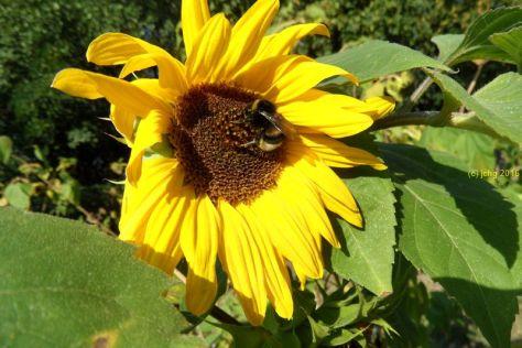 Sonnenblume und Hummel 3 am 16.09.2015