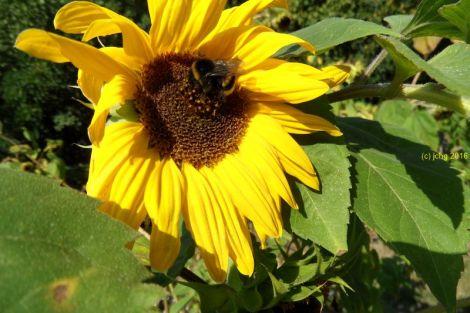 Sonnenblume und Hummel 4 am 16.09.2015