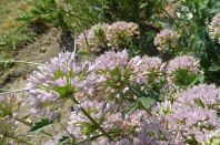 Heuhechel Bläuling und Berglauchblüte 5