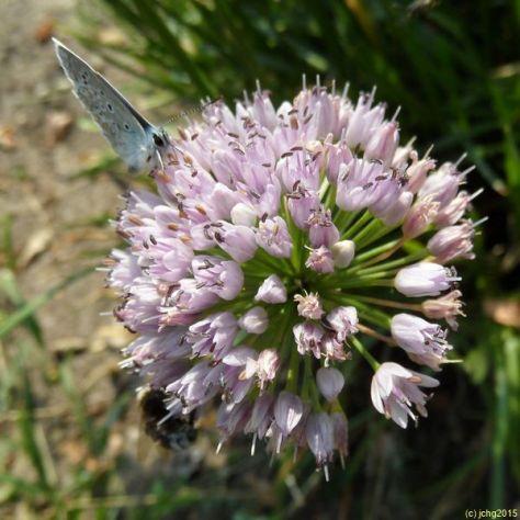Heuhechel Bläuling und Berglauchblüte 1 0
