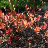 Heidelbeerblätter im Herbstkleid