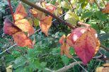Brombeerblätter in Herbstfärbung