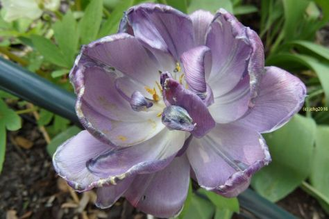 Tulpe lila 17.05..2012