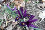 Noch mehr Iris am 19.03.2016