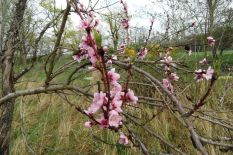 Noch Mehr Pfirsichblüten am 15.04.2016
