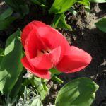 Noch eine Tulpenblüte