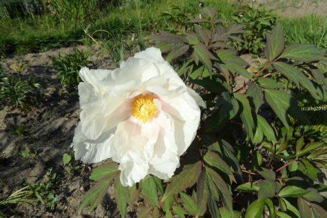 Blüte der Baumpäonie am 12.05.16