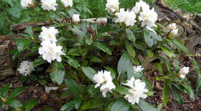 Blühender Rhododendron am 15.05.16