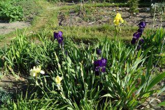 """Blühende Schwertlilien im Beet """"Iris"""" am Morgen des 22.05.2016"""