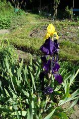 """Gelb und lila blühende Schwertlilien im Beet """"Iris"""" am 22.05.2016"""