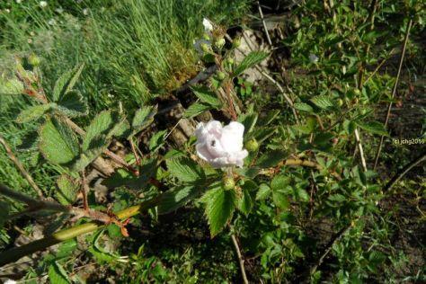 Brombeerblüte am 31.05.2016