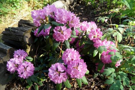 Rhododendron am 31.05.2016