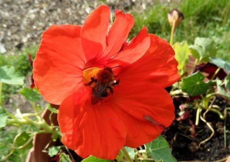 Die Hummel hat genug gesammelt in der der Blüte der Kapuzinerkresse