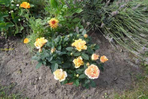 Orange Rosen am 08.08.2017