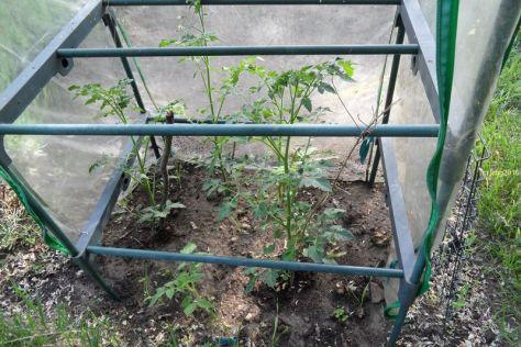 Tomatengewächshaus am 11.06.2026