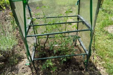 Tomatengewächshaus am 11.06.2026 Billd 2