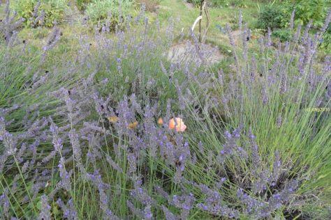 """Hummeln, Lavendel, Kaisermantel, """"Großes Ochsenauge"""", Rose"""