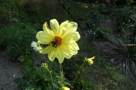 Gelbe Dahlie und Hummel 4