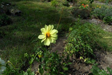 Gelbe Dahlienblüte mit Schmetterling 30.07.2016
