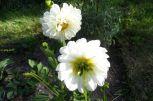 Weiße Dahlenblüten am 13.08.2016