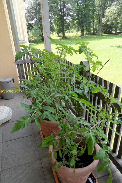 Die 7 Tomatenpflanzen auf der Terrasse am 11.07.2017