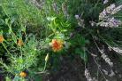 "Dahlienblüte im Beet ""Acht"" am 05.08.2017"