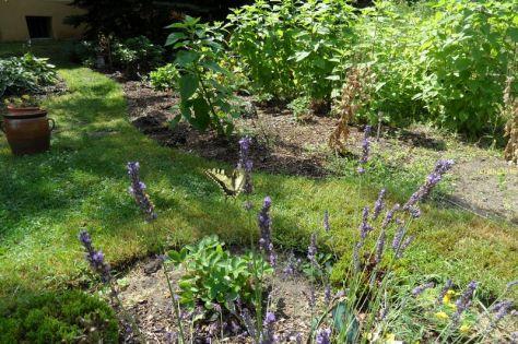 Schwalbenschwanz am Lavendel 9