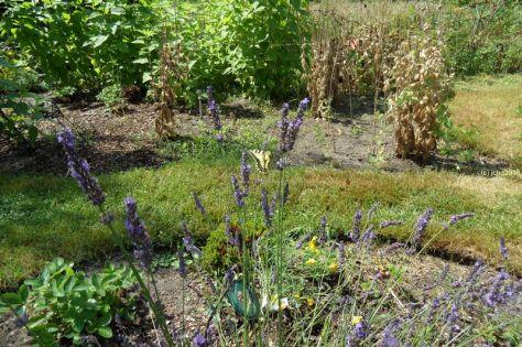 Schwalbenschwanz am Lavendel 11