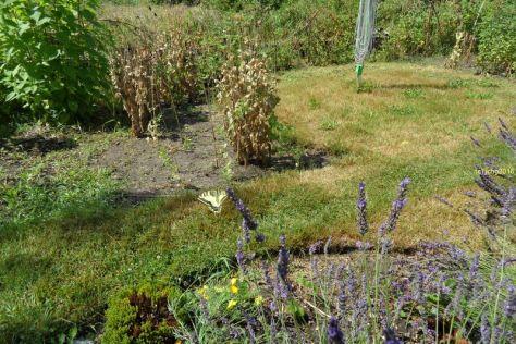 Schwalbenschwanz am Lavendel 15