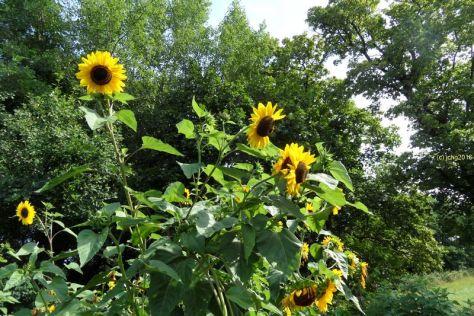 Sonnenblumen 21.08.2016
